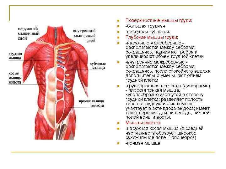 n n n n n Поверхностные мышцы груди: большая грудная передняя зубчатая. Глубокие мышцы