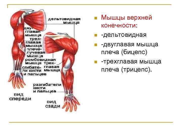 n n Мышцы верхней конечности: дельтовидная двуглавая мышца плеча (бицепс) трехглавая мышца плеча (трицепс).