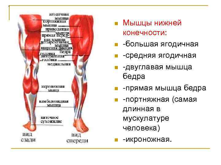 . n n n n Мышцы нижней конечности: большая ягодичная средняя ягодичная двуглавая мышца