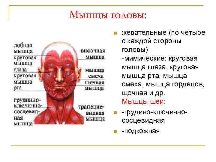 Мышцы головы: n n n жевательные (по четыре с каждой стороны головы) мимические: круговая