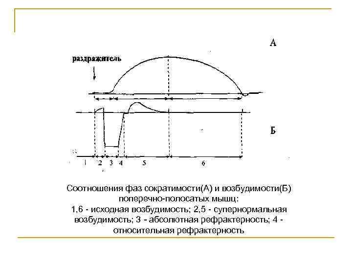 Соотношения фаз сократимости(А) и возбудимости(Б) поперечно полосатых мышц: 1, 6 исходная возбудимость; 2, 5