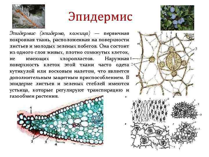 Эпидермис (эпидерма, кожица) — первичная покровная ткань, расположенная на поверхности листьев и молодых зеленых