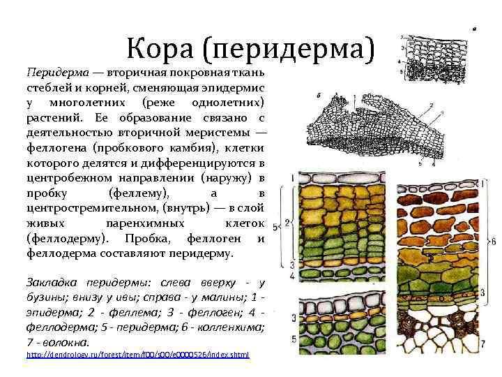 Кора (перидерма) Перидерма — вторичная покровная ткань стеблей и корней, сменяющая эпидермис у многолетних