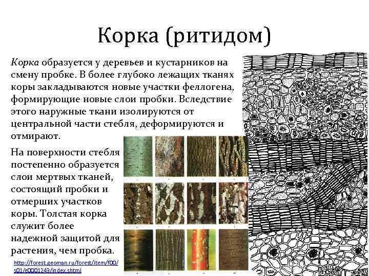 Корка (ритидом) Корка образуется у деревьев и кустарников на смену пробке. В более глубоко