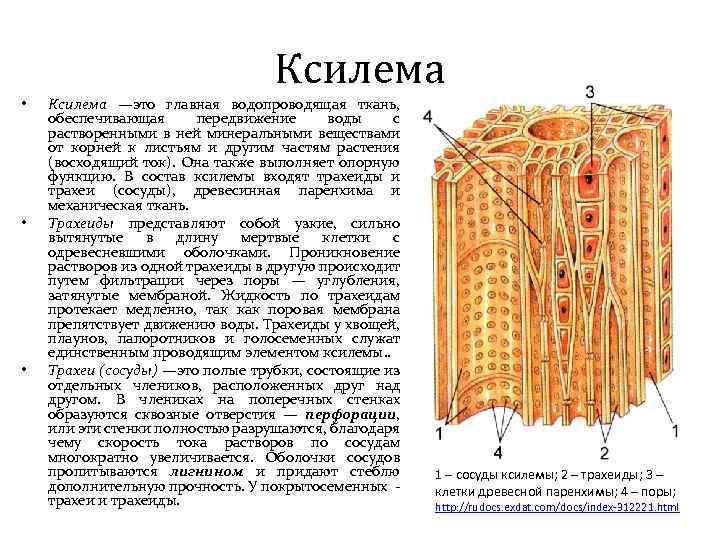 Ксилема • • • Ксилема —это главная водопроводящая ткань, обеспечивающая передвижение воды с растворенными