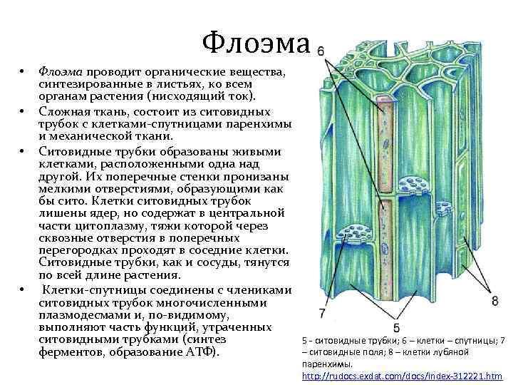 Флоэма • • Флоэма проводит органические вещества, синтезированные в листьях, ко всем органам растения