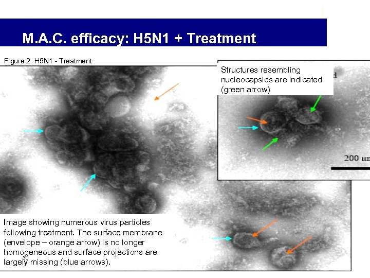 M. A. C. efficacy: H 5 N 1 + Treatment Figure 2. H 5