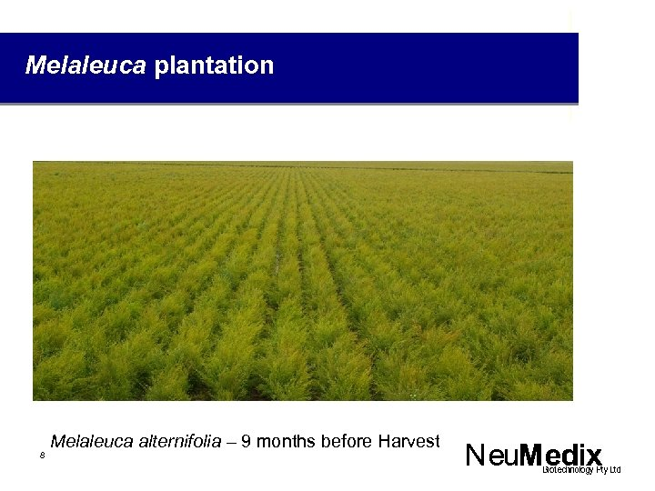 Melaleuca plantation 8 Melaleuca alternifolia – 9 months before Harvest