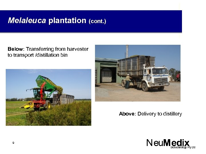 Melaleuca plantation (cont. ) Below: Transferring from harvester to transport /distillation bin Above: Delivery