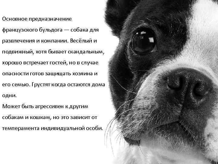Основное предназначение французского бульдога — собака для развлечения и компании. Весёлый и подвижный, хотя