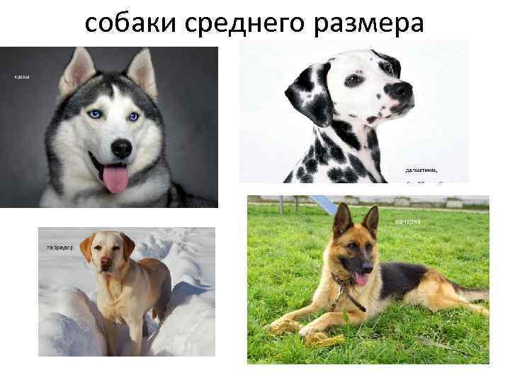 собаки среднего размера