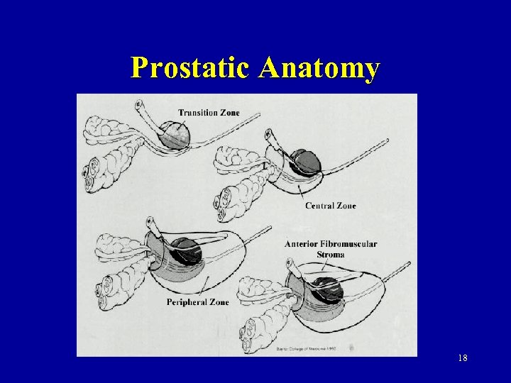 Prostatic Anatomy 18