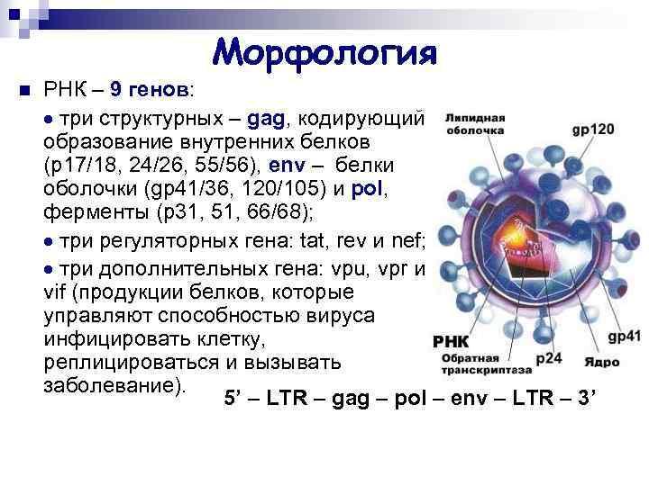 Морфология n РНК – 9 генов: три структурных – gag, кодирующий образование внутренних белков