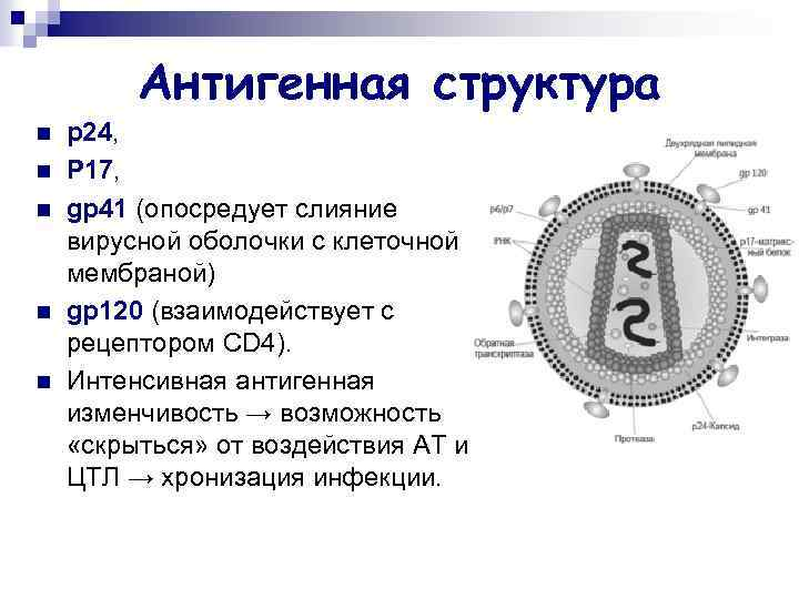 Антигенная структура n n n p 24, P 17, gp 41 (опосредует слияние вирусной