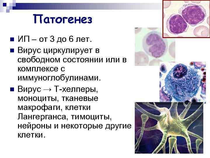 Патогенез n n n ИП – от 3 до 6 лет. Вирус циркулирует в