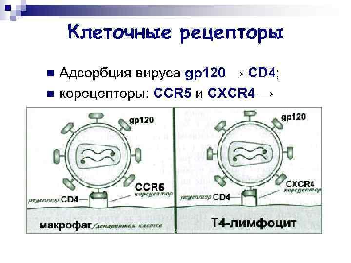 Клеточные рецепторы n n Адсорбция вируса gp 120 → CD 4; корецепторы: CCR 5