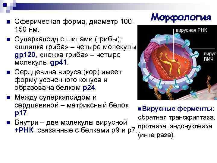 n n n Морфология Сферическая форма, диаметр 100150 нм. Суперкапсид с шипами (грибы): «шляпка