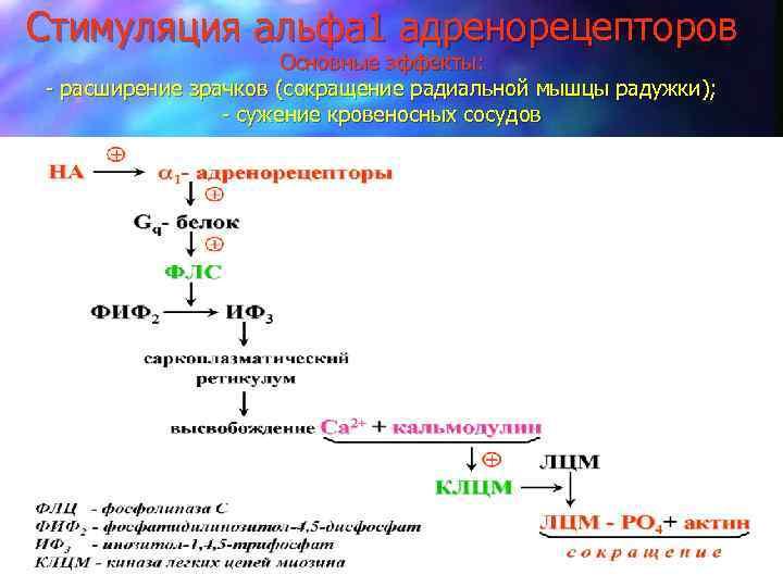 Стимуляция альфа 1 адренорецепторов Основные эффекты: - расширение зрачков (сокращение радиальной мышцы радужки); -