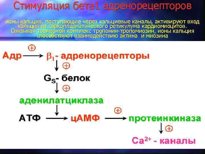 Стимуляция бета 1 адренорецепторов ионы кальция, поступающие через кальциевые каналы, активируют вход кальция из