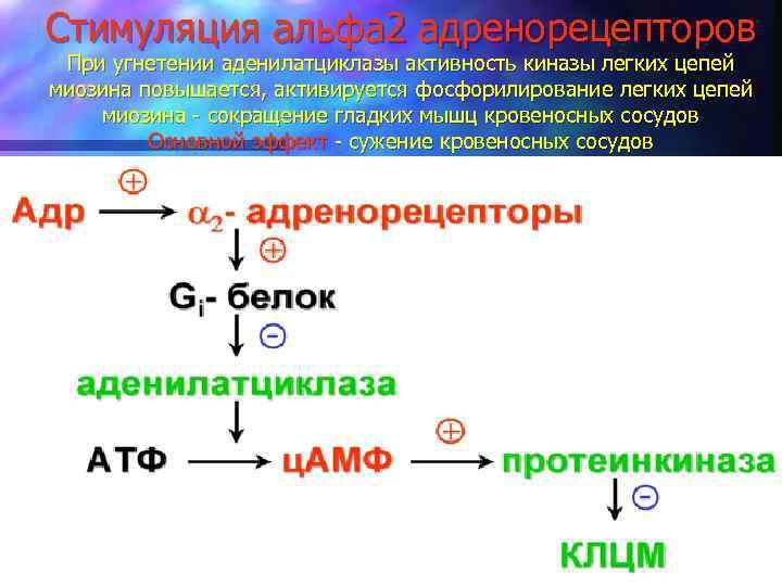 Стимуляция альфа 2 адренорецепторов При угнетении аденилатциклазы активность киназы легких цепей миозина повышается, активируется