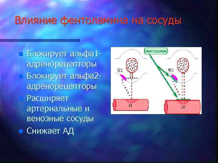 Влияние фентоламина на сосуды n n Блокирует альфа 1 адренорецепторы Блокирует альфа 2 адренорецепторы