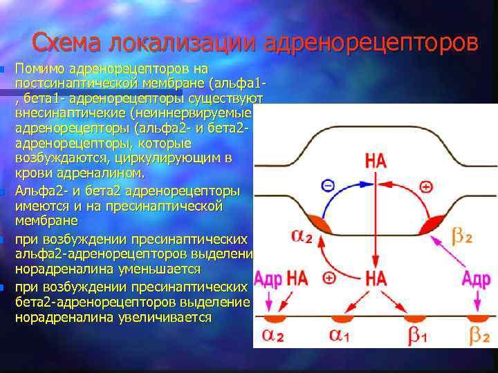 n n Схема локализации адренорецепторов Помимо адренорецепторов на постсинаптической мембране (альфа 1, бета 1