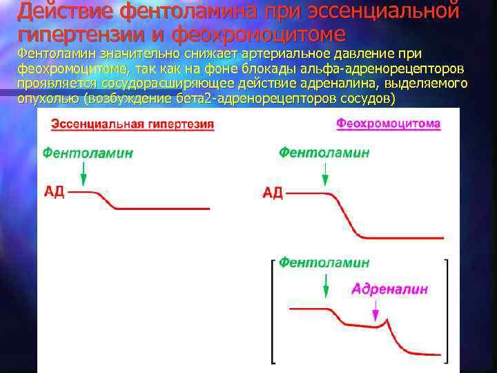 Действие фентоламина при эссенциальной гипертензии и феохромоцитоме Фентоламин значительно снижает артериальное давление при феохромоцитоме,