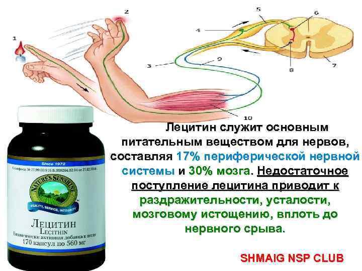 Лецитин служит основным питательным веществом для нервов, составляя 17% периферической нервной системы и 30%