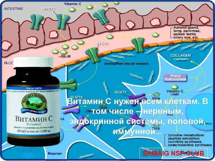 Витамин С нужен всем клеткам. В том числе – нервным, эндокринной системы, половой, иммунной.