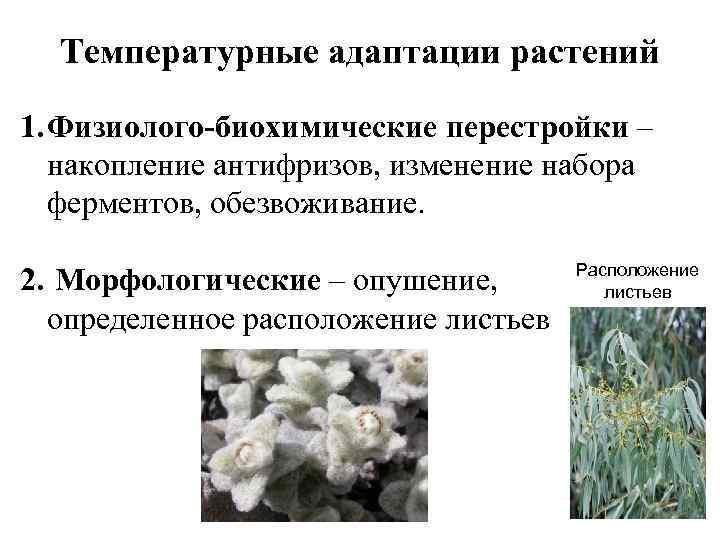 Температурные адаптации растений 1. Физиолого-биохимические перестройки – накопление антифризов, изменение набора ферментов, обезвоживание. 2.