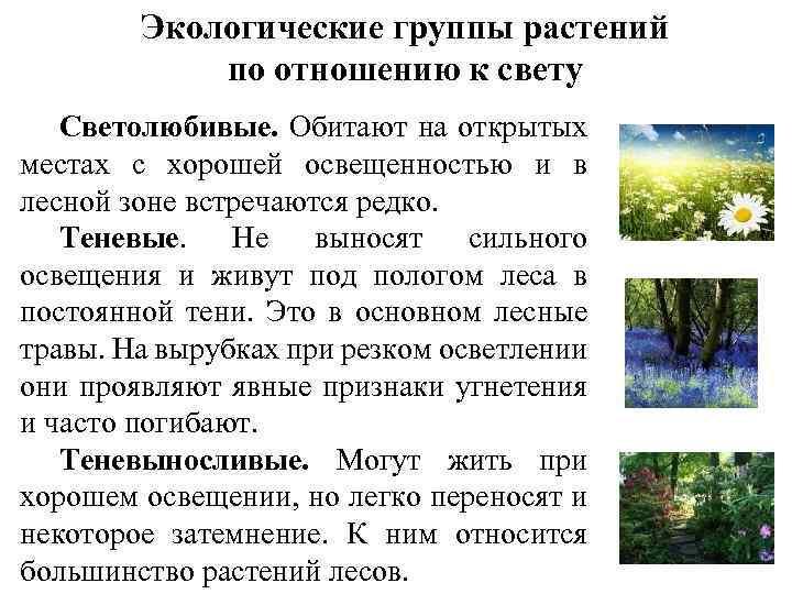 Экологические группы растений по отношению к свету Светолюбивые. Обитают на открытых местах с хорошей