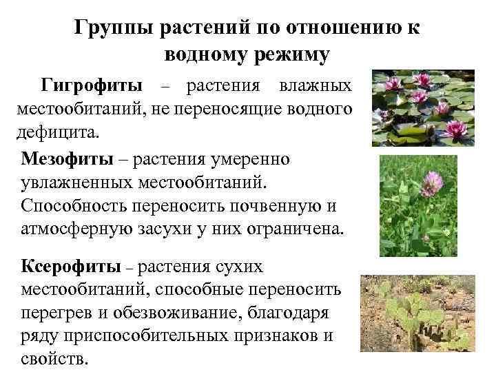 Группы растений по отношению к водному режиму Гигрофиты – растения влажных местообитаний, не переносящие