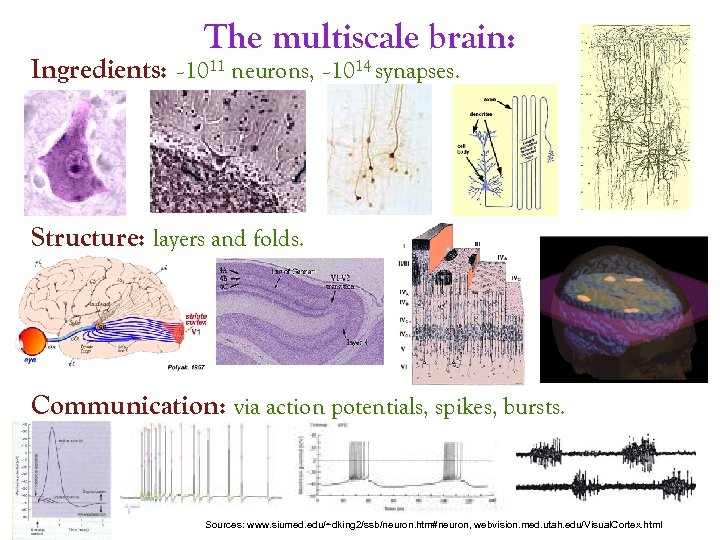 The multiscale brain: Ingredients: ~1011 neurons, ~1014 synapses. Structure: layers and folds. Communication: via