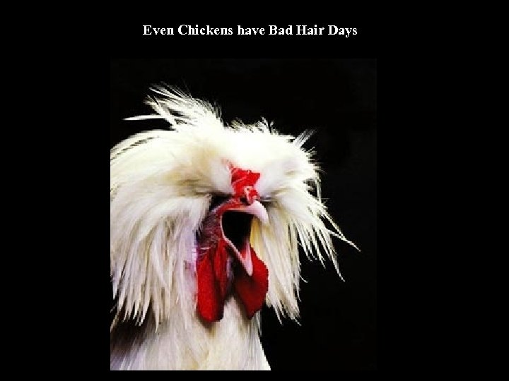 Even Chickens have Bad Hair Days
