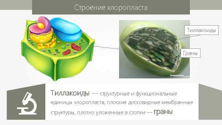 Строение хлоропласта Тиллакоиды Граны Sterilgutassistentin Тиллакоиды — структурные и функциональные единицы хлоропласта, плоские дисковидные