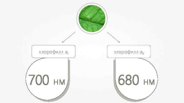 хлорофилл а. I 700 нм хлорофилл а. II 680 нм