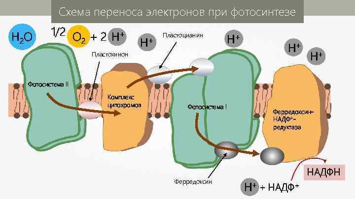 Схема переноса электронов при фотосинтезе H 2 O 1/2 O + 2 H+ 2