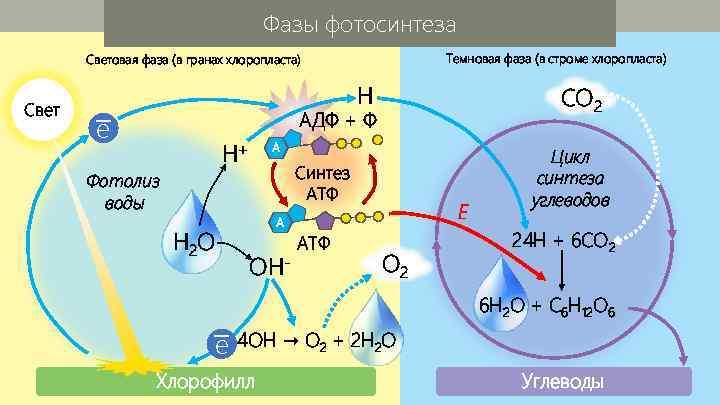 Фазы фотосинтеза Темновая фаза (в строме хлоропласта) Световая фаза (в гранах хлоропласта) Свет H