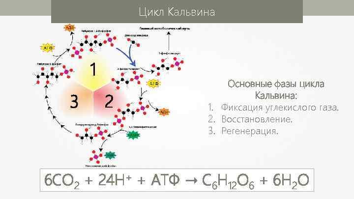 Цикл Кальвина 1 3 2 Основные фазы цикла Кальвина: 1. Фиксация углекислого газа. 2.