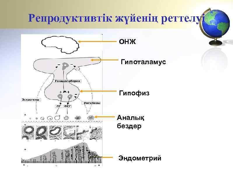 Репродуктивтік жүйенің реттелуі ОНЖ Гипоталамус Гипофиз Аналық бездер Эндометрий