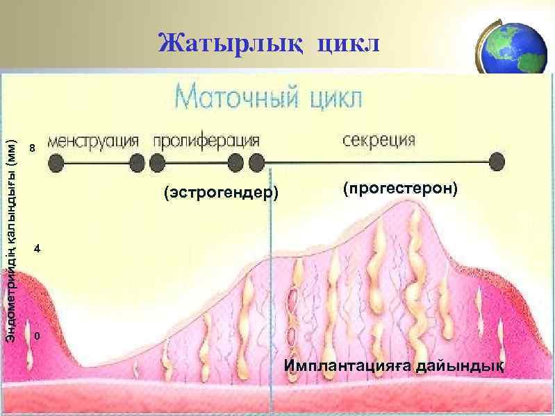 Эндометрийдің қалыңдығы (мм) Жатырлық цикл 8 (эстрогендер) (прогестерон) 4 0 Имплантацияға дайындық