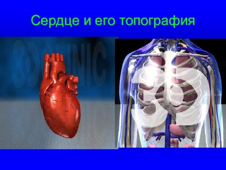 Сердце и его топография