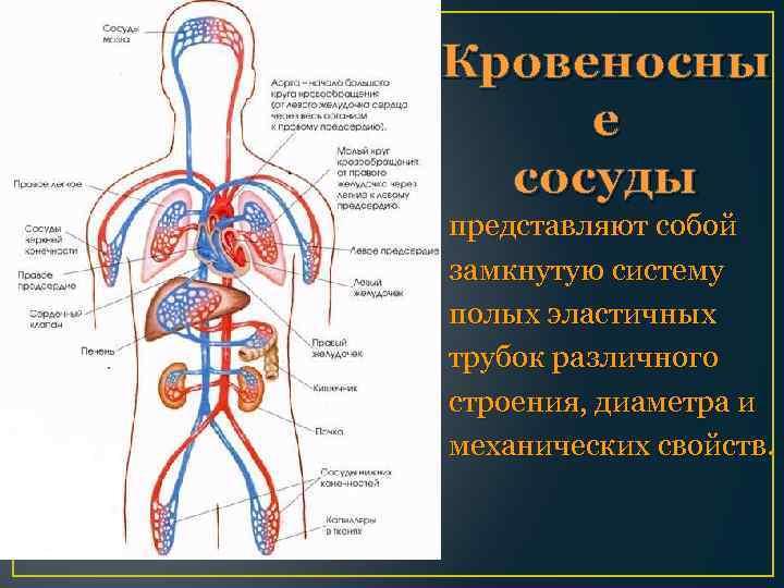 Кровеносны е сосуды представляют собой замкнутую систему полых эластичных трубок различного строения, диаметра и