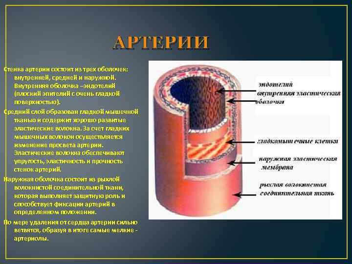 АРТЕРИИ Стенка артерии состоит из трех оболочек: внутренней, средней и наружной. Внутренняя оболочка –эндотелий