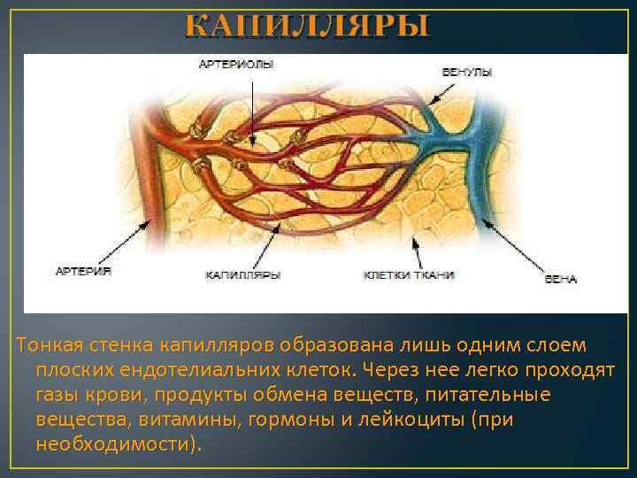 КАПИЛЛЯРЫ Тонкая стенка капилляров образована лишь одним слоем плоских ендотелиальних клеток. Через нее легко