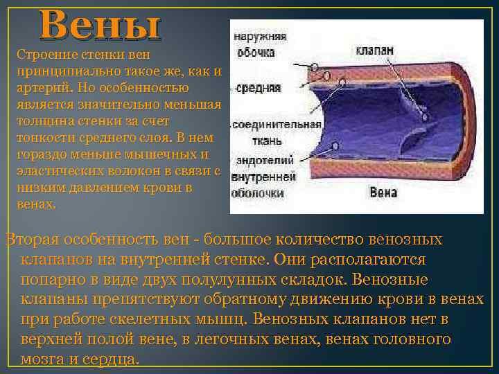 Вены Строение стенки вен принципиально такое же, как и артерий. Но особенностью является значительно