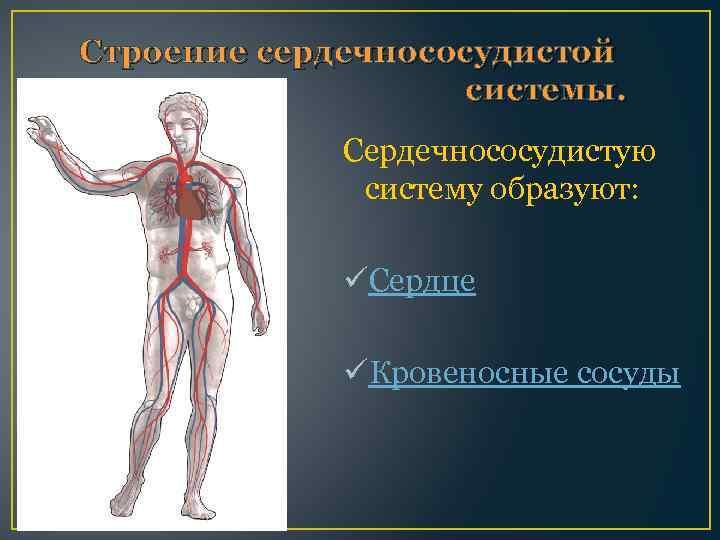 Строение сердечнососудистой системы. Сердечнососудистую систему образуют: üСердце üКровеносные сосуды