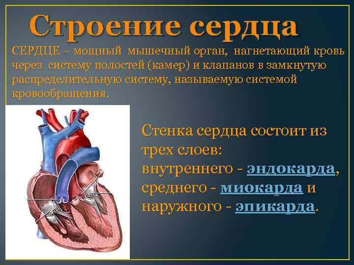 Строение сердца СЕРДЦЕ – мощный мышечный орган, нагнетающий кровь через систему полостей (камер) и