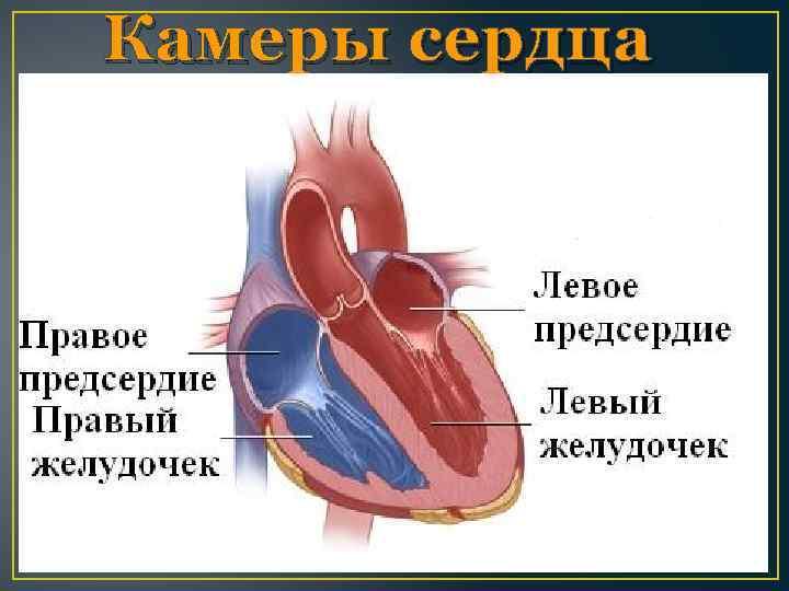 Камеры сердца