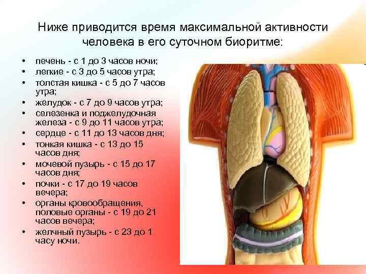 Ниже приводится время максимальной активности человека в его суточном биоритме: • • • печень